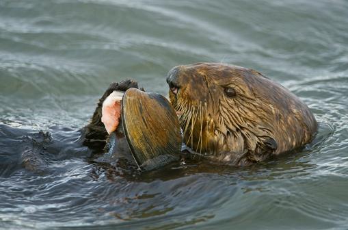 Monterey Bay「Sea otter (Enhydra lutris) eating oyster, Monterrey Bay, California, USA」:スマホ壁紙(17)