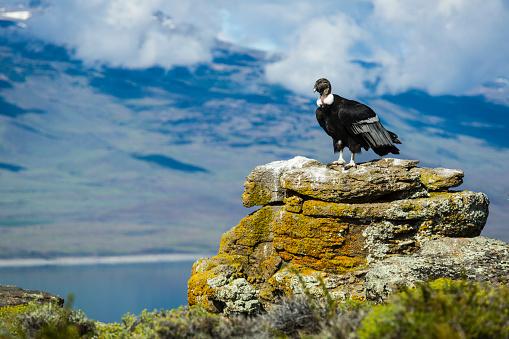 岩「Andean Condor (Vultur gryphus), Torres del Paine National Park, Chilean Patagonia」:スマホ壁紙(19)