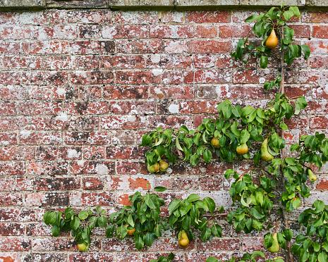 Trellis「crop shot of espaliered pear tree」:スマホ壁紙(15)