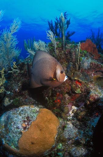 ケイマン諸島「Gray Angelfish」:スマホ壁紙(14)