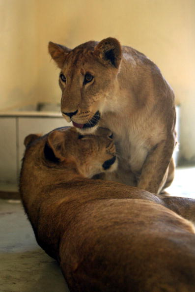 Baghdad「Uday Hussein's Lions Moved To Baghdad Zoo」:写真・画像(10)[壁紙.com]