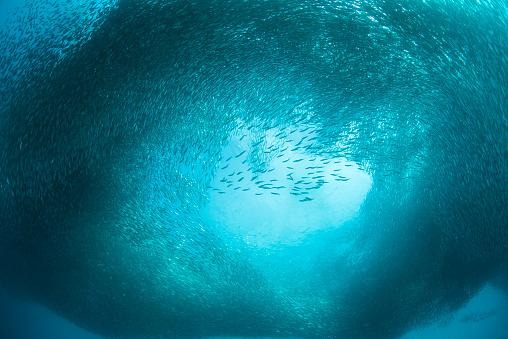 School of Fish「Schoal of sardines」:スマホ壁紙(3)