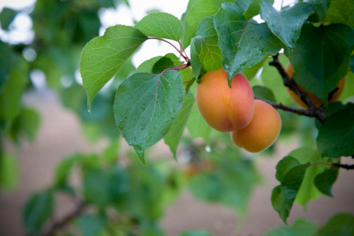 杏「Fresh apricots hanging on tree with rain water」:スマホ壁紙(6)