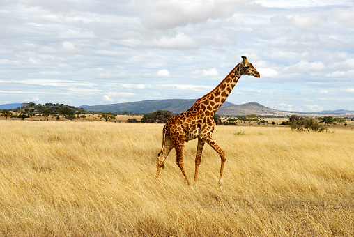Giraffe「Giraffe Walking Through African Serengeti, Tanzania」:スマホ壁紙(5)