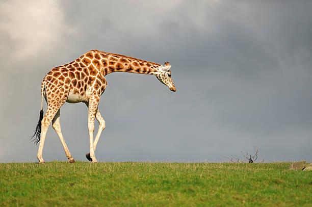 Giraffe walking against dark sky:スマホ壁紙(壁紙.com)