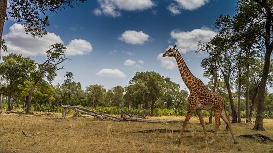 Giraffe「Giraffe walking to the forest.」:スマホ壁紙(13)
