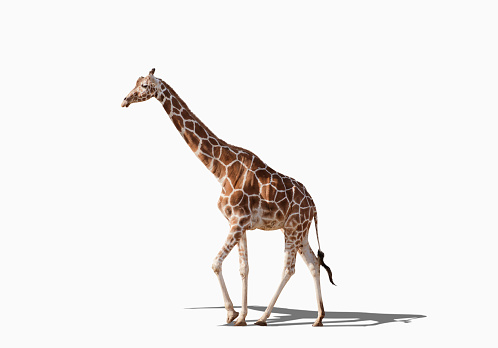 全身「Giraffe walking in studio」:スマホ壁紙(10)