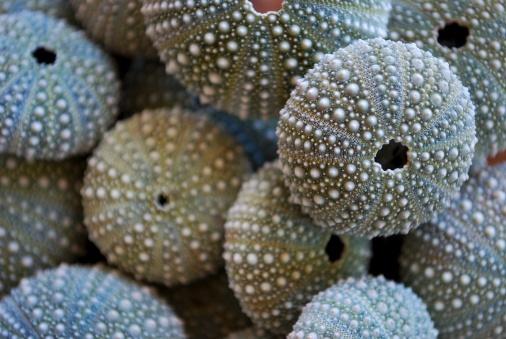 New Zealand「New Zealand Sea Urchin or Evechinus Chloroticus」:スマホ壁紙(18)