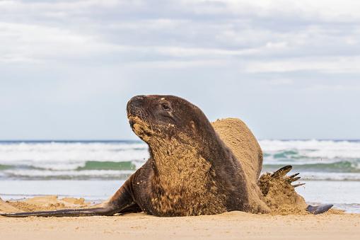 Sea Lion「New Zealand, Oceania, South Island, Otago, Southeast, Catlins Coast, New Zealand Sea Lion (Phocarctos hookeri) lying in sand in Purakaunui Bay」:スマホ壁紙(13)