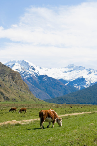 Mt Aspiring「New Zealand, South Island, cows grazing with Mount Aspiring in background」:スマホ壁紙(3)