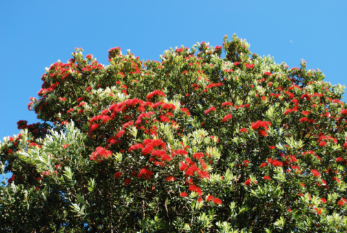 New Zealand Culture「New Zealand Pohutukawa」:スマホ壁紙(14)