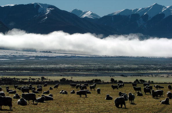自然・風景「New Zealand Scenic. Sheep Graze Near State Highway」:写真・画像(0)[壁紙.com]