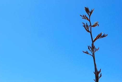 New Zealand Culture「New Zealand Flax Buds」:スマホ壁紙(7)