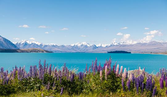 ニュージーランド南アルプス「New Zealand, South Island, Lake Tekapo, Russell lupin, Lupinus polyphyllus」:スマホ壁紙(14)