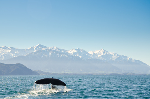 Endangered Species「New Zealand, Canterbury, Kaikoura, View of whales tail fin」:スマホ壁紙(1)