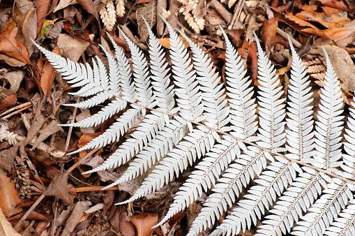 New Zealand「New Zealand Silver Fern」:スマホ壁紙(10)