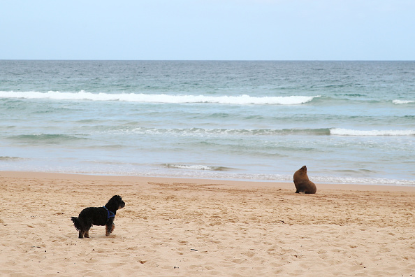 Environment「New Zealand Fur Seal Washed Up In Manly」:写真・画像(13)[壁紙.com]