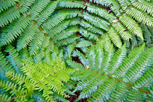 New Zealand Culture「New Zealand Ponga Fern」:スマホ壁紙(17)