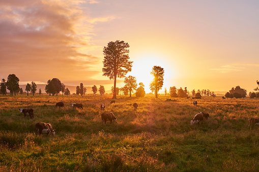 Westland - South Island New Zealand「New Zealand, South Island, Westland National Park, cows on meadow at sunset」:スマホ壁紙(11)