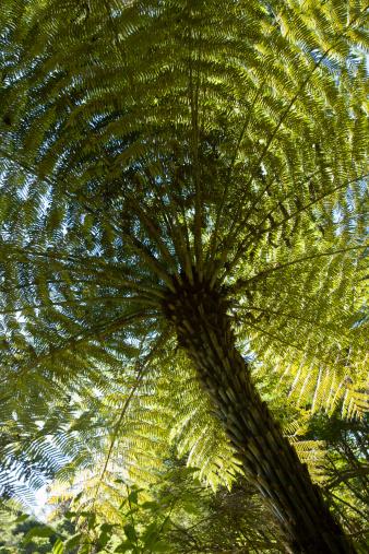Eco Tourism「New Zealand Tree Fern (Dicksonia squarrosa)」:スマホ壁紙(6)