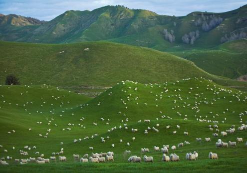 New Zealand「New Zealand, Sheep herd at Coromandel Peninsula」:スマホ壁紙(6)