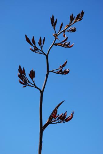 New Zealand Culture「New Zealand Flax Flower」:スマホ壁紙(13)