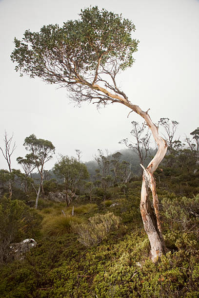 Cradle Mountain NP, Eucalyptus tree in Fog :スマホ壁紙(壁紙.com)