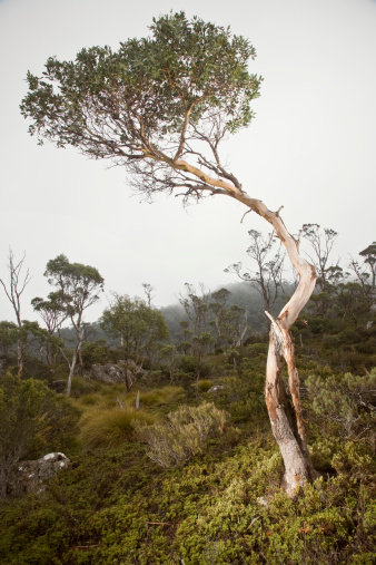 UNESCO「Cradle Mountain NP, Eucalyptus tree in Fog 」:スマホ壁紙(8)