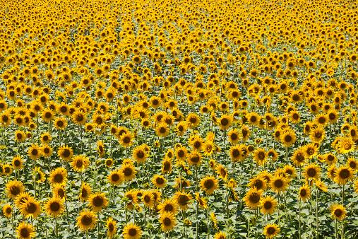 ひまわり「France, Provence, sunflower field, Helianthus annuus」:スマホ壁紙(7)
