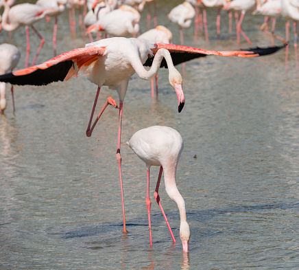 Rutting「France, Provence Alpes Cote d'Azur, Camargue, mating flamingos, Phoenicopterus roseus」:スマホ壁紙(16)