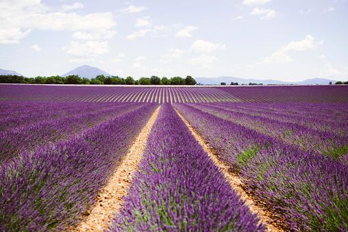 Alpes-de-Haute-Provence「France, Provence, Valensole plateau, Infinite purple fields of blooming lavender in summer」:スマホ壁紙(5)