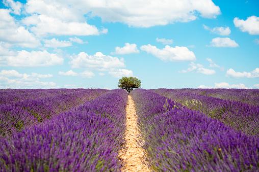 Alpes-de-Haute-Provence「France, Provence, Valensole plateau, Infinite purple fields of blooming lavender in summer」:スマホ壁紙(16)