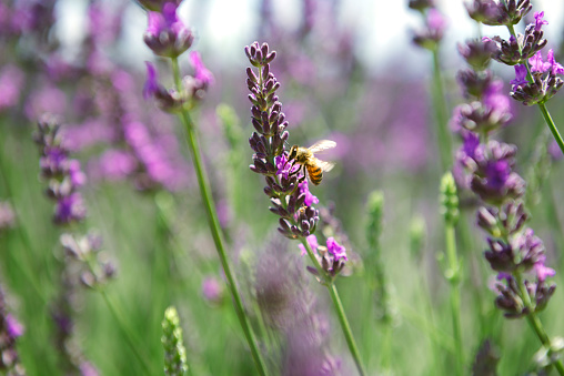 Alpes-de-Haute-Provence「France, Provence, close-up of bee on a lavender flower in the summer」:スマホ壁紙(10)