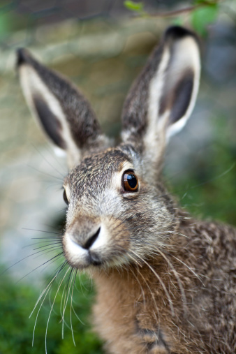 Baby Rabbit「An up close image of a brown baby hare in nature」:スマホ壁紙(16)