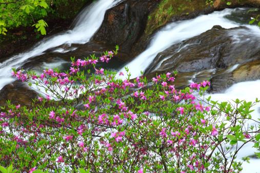 Tochigi Prefecture「Ryuzu-no-taki and Rhododendron dilatatum, Tochigi Prefecture, Japan」:スマホ壁紙(12)