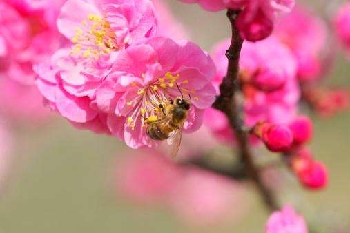 梅の花「Bee on Red Plum Blossoms」:スマホ壁紙(0)