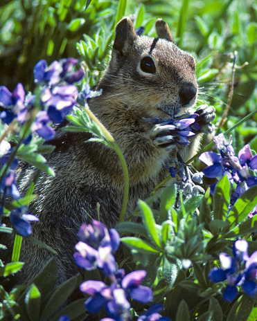 Squirrel「Golden Mantled Ground Squirrel in Lupine」:スマホ壁紙(7)