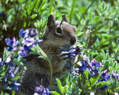 Squirrel「Golden Mantled Ground Squirrel in Lupine」:スマホ壁紙(5)