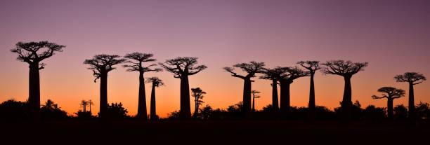 Sunset over Alley of the baobabs, Madagascar:スマホ壁紙(壁紙.com)