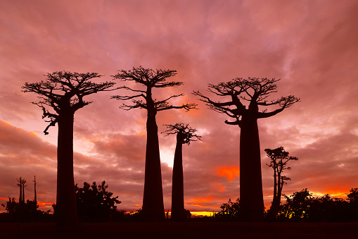 Avenue「Sunset over Alley of the baobabs, Madagascar」:スマホ壁紙(7)