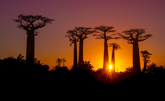 Avenue「Sunset over Alley of the baobabs, Madagascar」:スマホ壁紙(15)