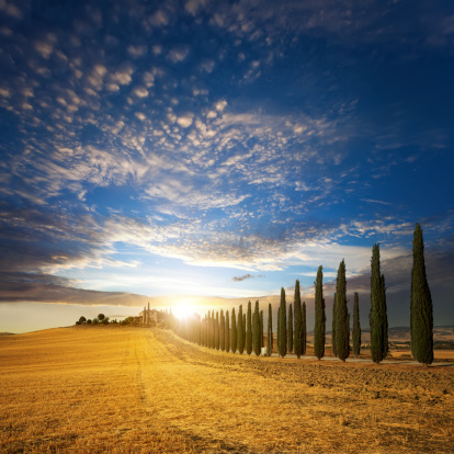 Italian Cypress「Sunset over golden field and alley of cypress in Tuscany」:スマホ壁紙(19)