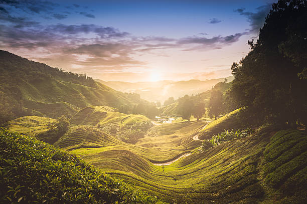 Sunset over tea plantation in Malaysia:スマホ壁紙(壁紙.com)