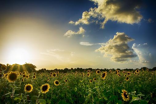 ひまわり「Sunset over sunflower field」:スマホ壁紙(11)