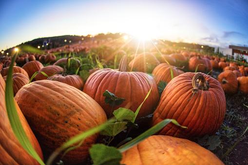 Pumpkin「Sunset Over Pumpkin Patch」:スマホ壁紙(7)