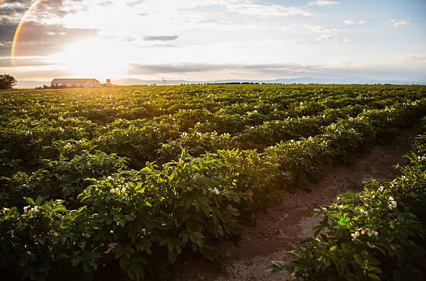 Sunset over potato field, Colorado, USA:スマホ壁紙(壁紙.com)