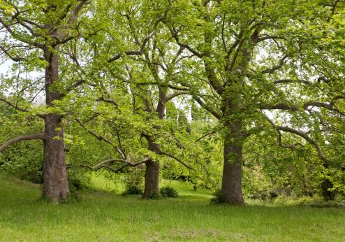 セイヨウカジカエデ「Big plane trees」:スマホ壁紙(19)