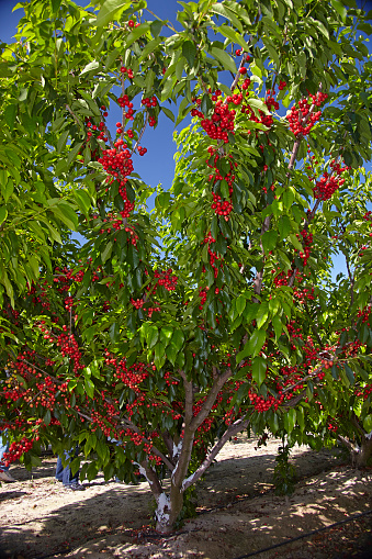 Vertical「Orchard Cherry Tree」:スマホ壁紙(17)