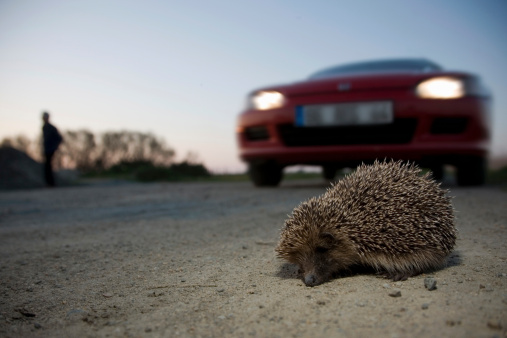 ハリネズミ「Hedgehog crossing the road, european hedgehog, eri」:スマホ壁紙(2)