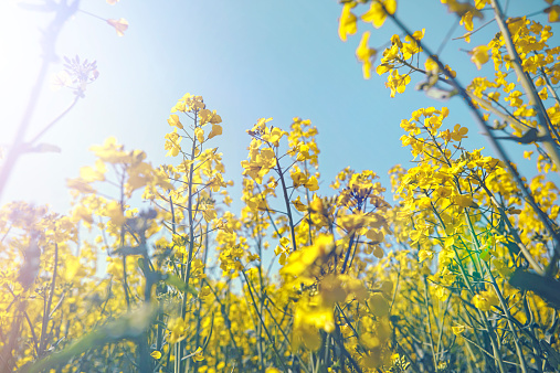 Focus On Background「Rapeseed in the sun」:スマホ壁紙(8)